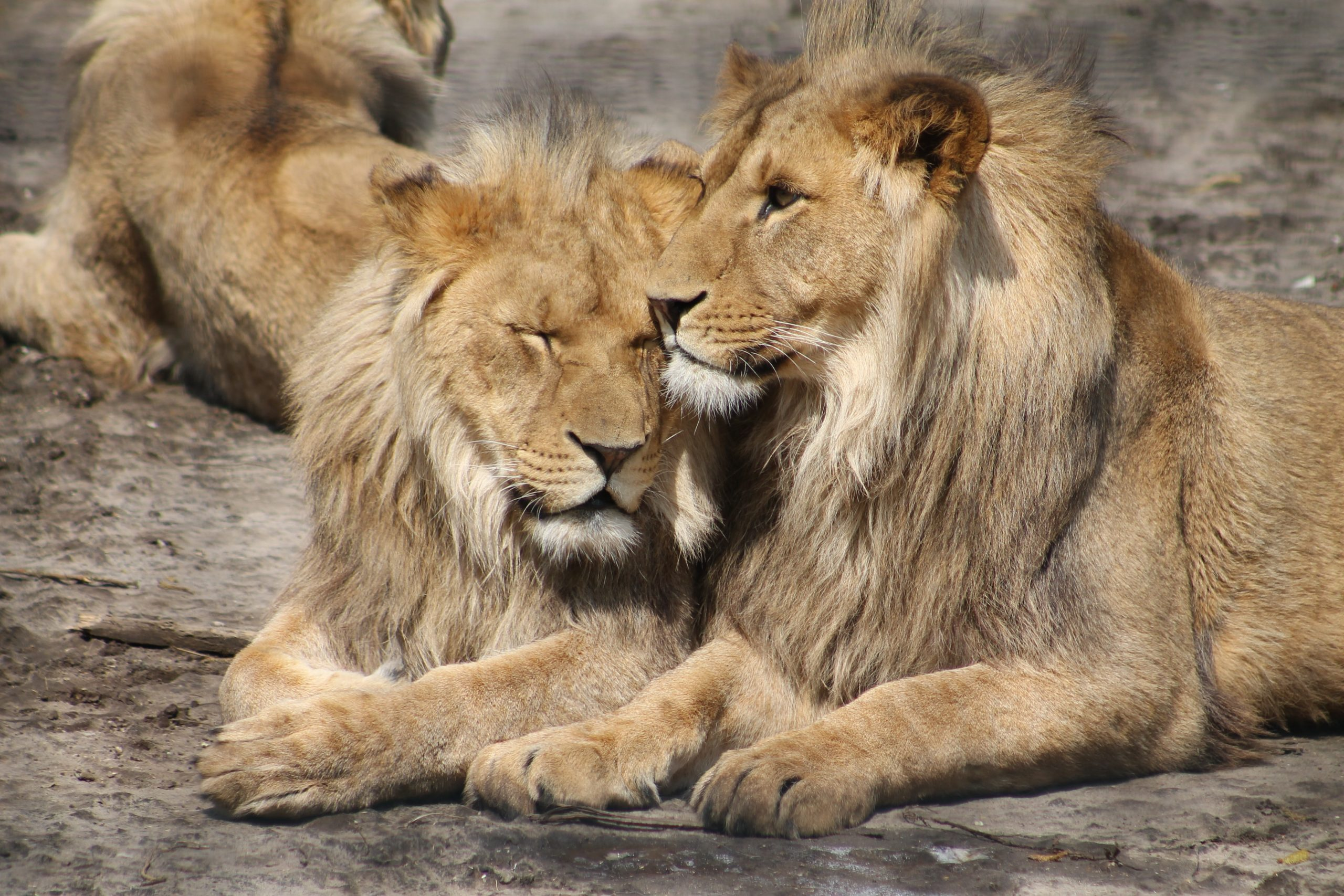 Lions in a park